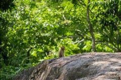 Langschwänziger Makaken, in Thailand, Saraburi ein Naturschutzgebiet, Stockbilder