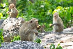 Langschwänziger Makaken, in Thailand, Saraburi ein Naturschutzgebiet, Stockfotografie