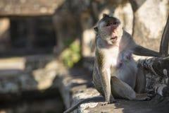Langschwänziger Makaken-weiblicher Affe, der auf alten Ruinen von sitzt Stockfotos