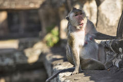 Langschwänziger Makaken-weiblicher Affe, der auf alten Ruinen von sitzt Lizenzfreies Stockbild