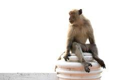 Langschwänziger Makakenmann, der auf der Wand lokalisiert sitzt  Lizenzfreie Stockfotografie