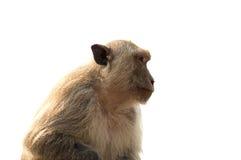 Langschwänziger Makakenmann, der auf der Wand lokalisiert sitzt Stockfotos