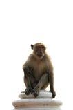 Langschwänziger Makakenmann, der auf der Wand lokalisiert sitzt Stockfotografie