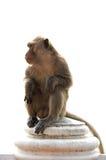 Langschwänziger Makakenmann, der auf der Wand lokalisiert sitzt Stockbild