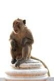 Langschwänziger Makakenmann, der auf der Wand lokalisiert sitzt Stockfoto