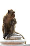 Langschwänziger Makakenmann, der auf der Wand lokalisiert sitzt Lizenzfreies Stockbild