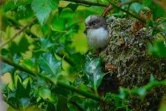 Langschwänziger Meisegewordener vogel Lizenzfreie Stockfotos