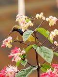 Langschwänziger Tailorbird Stockfoto