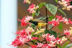 Langschwänziger Tailorbird Lizenzfreies Stockfoto