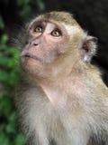 Langschwänziges Makakenaffeporträt Lizenzfreies Stockbild