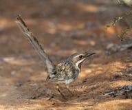 Free Langstaartgrondscharrelaar, Long-tailed Ground-Roller, Uratelornis Chimaera Stock Photos - 129047513