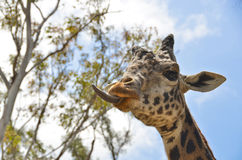 Langue de giraffe Images stock