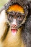 Langue de singe d'araignée  Images libres de droits