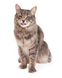 Langue mignonne de Tabby Cat Sitting And Sticking Out Photos libres de droits