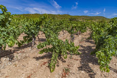 Languedoc-Roussillon province in France. View at vineyard in Languedoc-Roussillon province in France Stock Photography