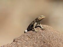 Languid ящерица Стоковое Фото