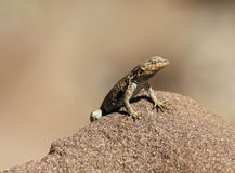 Languid Lizard Stock Photo