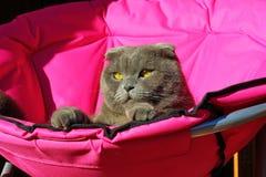 Languid look cat stars Royalty Free Stock Image