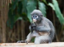 Langur à lunettes de singe sombre de feuille photographie stock libre de droits