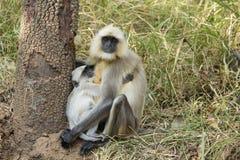 Langur младенца серый прижимаясь с мамой стоковые фотографии rf