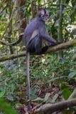 Langur Томаса сидит на ветви высоко над землей и своим tai Стоковое Изображение RF