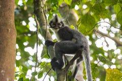 Langur Томаса сидит на поворачивать дерева & x28; Суматра, Indonesia& x29; стоковые фотографии rf