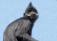Langur. Francois' Langur sitting against blue sky looking up Royalty Free Stock Image