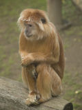 Langur Royalty Free Stock Photos