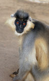langur Stock Photo