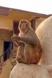 Langur-Affe in der Stadt Stockbilder