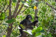 Langur auf einem Baum Lizenzfreies Stockfoto