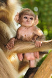 Langur baby with mother Stock Photos