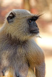 Langur close-up Royalty Free Stock Image