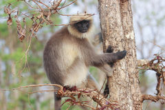 Langur Closeup. Langur in forests of western ghats India Stock Images