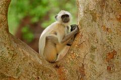 Langur común, entellus de Semnopithecus, retrato del mono, hábitat de la naturaleza, Sri Lanka Escena de alimentación con el lang Foto de archivo