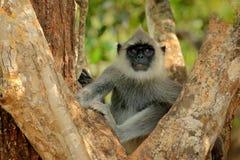 Langur comum, entellus de Semnopithecus, macaco que senta-se na grama, habitat da natureza, Sri Lanka Cena de alimentação com lan foto de stock