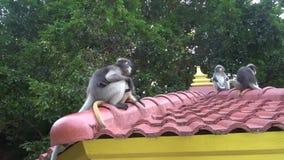 Langur con gafas de los monos lindos divertidos en el parque nacional almacen de metraje de vídeo