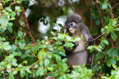 Langur con gafas del mono oscuro de la hoja en Tailandia Foto de archivo