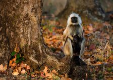 Langur with a cub. Langur with a cub sits on a tree root in sunset light Royalty Free Stock Image