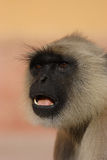 Langur de Hanuman Photo stock