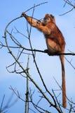 Langur de Javan photos libres de droits