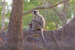 Langur de mère et de bébé dans un arbre Image libre de droits