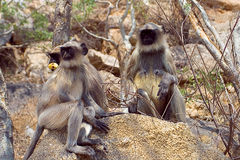 Langur de singe Image libre de droits