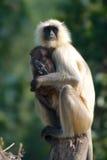 Langur del bambino e della madre Fotografie Stock Libere da Diritti