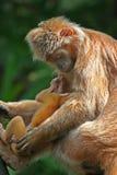 Langur dell'ebano con l'infante - s Immagine Stock