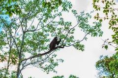 Langur, der auf Baumast sitzt Stockbilder