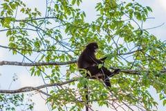 Langur, der auf Baumast sitzt Lizenzfreie Stockbilder
