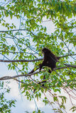 Langur, der auf Baumast sitzt Stockfotos