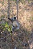 Langur, der auf einem Baumstamm klettert Stockfotografie