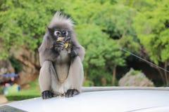 Langur, der den Mais auf Dachweißauto isst Stockfoto
